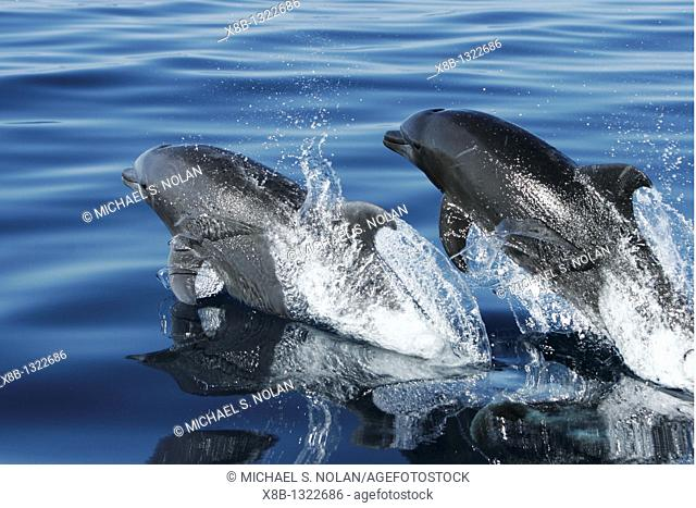 Adult Bottlenose Dolphin Tursiops truncatus gilli pair leaping in the upper Gulf of California Sea of Cortez, Mexico
