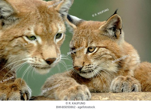 Eurasian lynx (Lynx lynx), female with cub