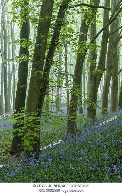 Bluebells in a misty beech woodland at dawn. Wrington Hill, North Somerset, England