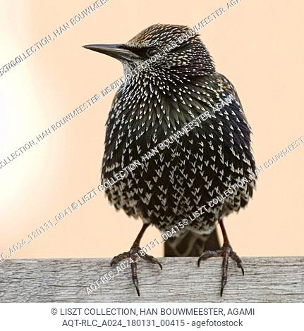 Common Starling perched on a fench, Common Starling, Sturnus vulgaris