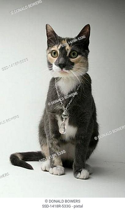 Calico cat wearing a necklace
