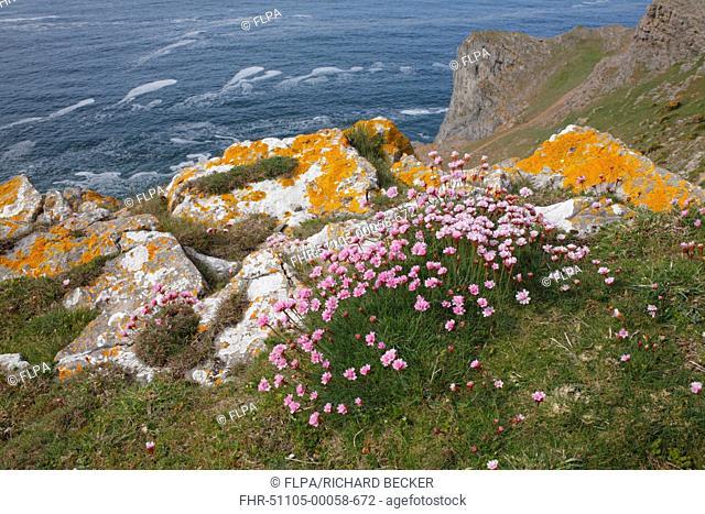 Thrift Armeria maritima flowering, growing on clifftop habitat, near Worms Head, Gower Peninsula, Glamorgan, Wales, may