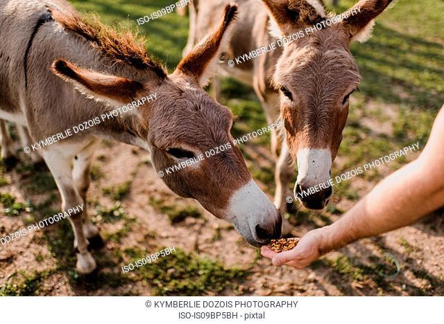 Donkeys being fed