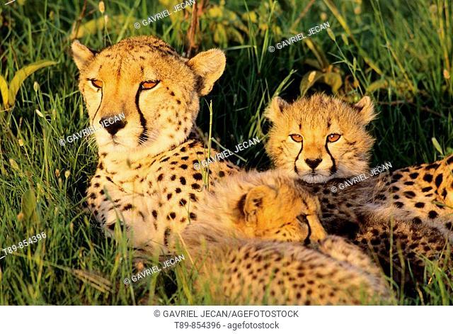 Cheetah Acinonyx jubatus In the sunset light