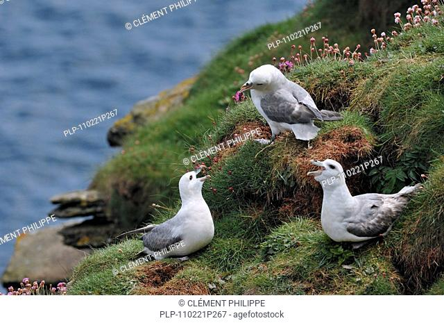 Northern Fulmars / Arctic Fulmars Fulmarus glacialis calling from nest in cliff face in the Fowlsheugh nature reserve, Scotland, UK