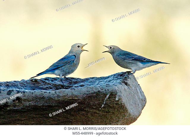 Bluebirds (Sialia sp.) arguing