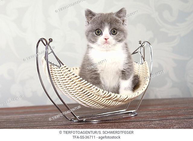 sitting British Shorthair Kitten