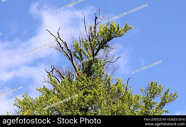 05 May 2020, Mecklenburg-Western Pomerania, Rostock: In the Schnatermann forest district of the Rostock Heath there is a clearly weakened beech