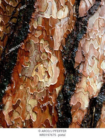 Pine, tree, bark