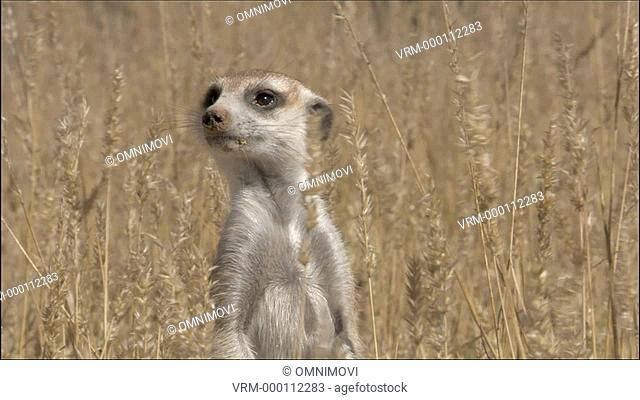 MS Meerkat in long grass / Kalahari Desert, South Africa