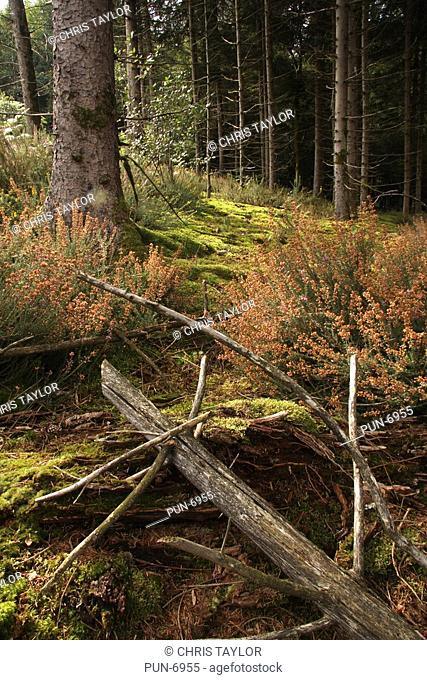 Pine forest covered with moss and fallen branches