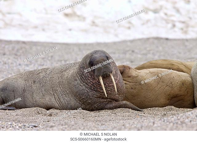 Adult male walrus Odobenus rosmarus rosmarus at Torellneset, a point on Nordaustlandet Island in the Hinlopenstretet in the Svalbard Archipelago in the Barents...
