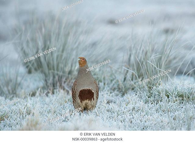 Grey Partridge (perdix perdix) male standing in frosty meadow looking at the camera, The Netherlands, Zuid-Holland