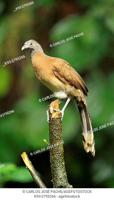 Grey-headed chachalaca (Ortalis cinereiceps) in the jungle, Peninsula de Osa, Costa Rica