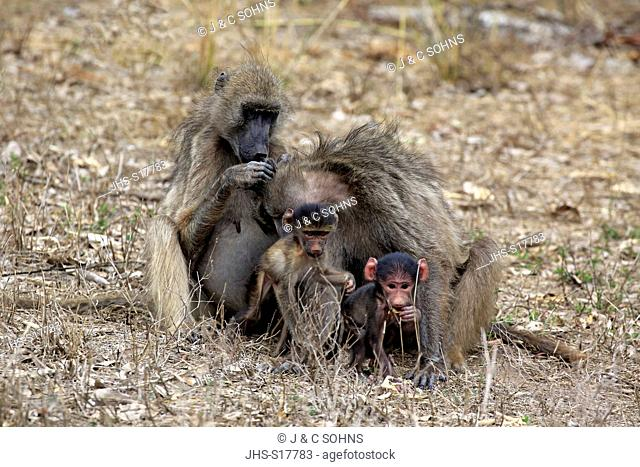 Chacma Baboon, (Papio ursinus), adult females with youngs social behaviour, Kruger Nationalpark, South Africa, Africa