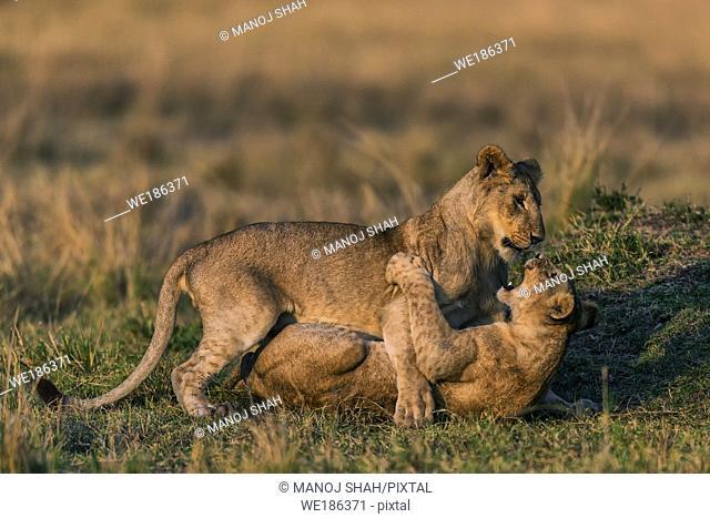 Sub adult lion cubs play fighting. Masai Mara National Reserve, Kenya