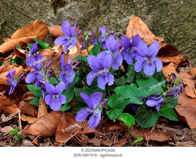 Heath Dog-violet, heath violet, viola canina