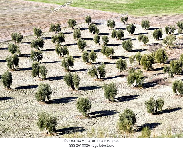 Olive trees in Pinto. Madrid. Spain. Europe