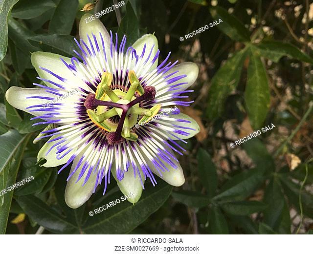 Blossom Passion Flower Apricot vine Passiflora Incarnata