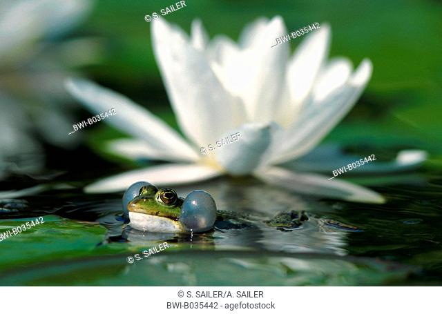 European edible frog (Rana esculenta), croaking in front of a water lilly (Nymphaea), Germany, Baden-Wuerttemberg, Bad Mergentheim