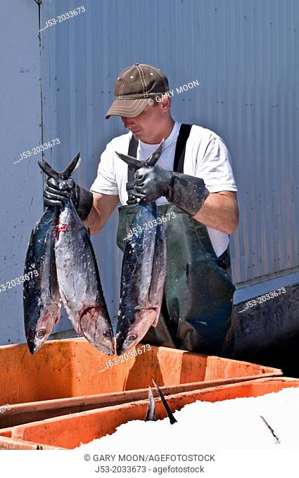 Worker at fish processing plant packing frozen tuna into tote with ice immediately after they are unloaded from fishing boat, Charleston, Oregon USA