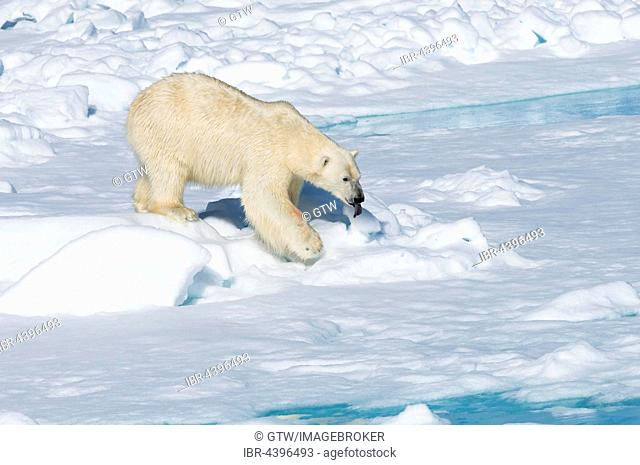 Male polar bear (Ursus maritimus) walking on pack ice, Spitsbergen, Svalbard, Norway