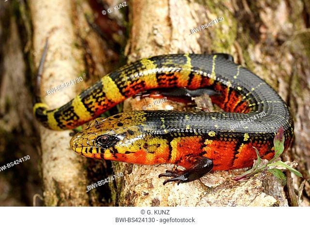 Great fire lizard (Diploglossus monotropis), sits on a branch, Costa Rica