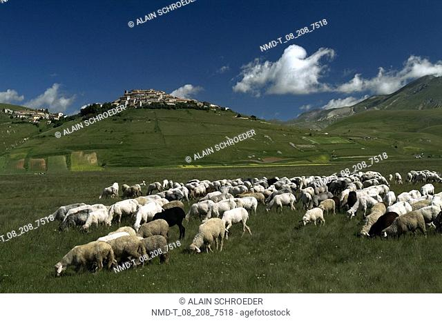 High angle view of a flock of sheep grazing in a field