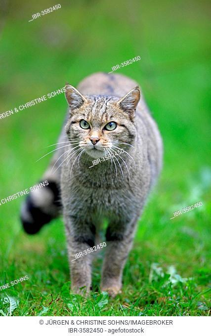 Wildcat (Felis silvestris), captive, Hanau, Hesse, Germany