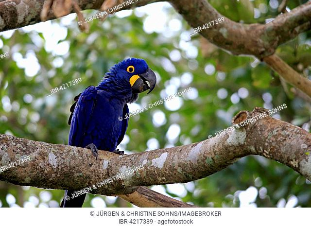 Hyacinth macaw (Anodorhynchus hyacinthinus), adult in a tree, Pantanal, Mato Grosso, Brazil