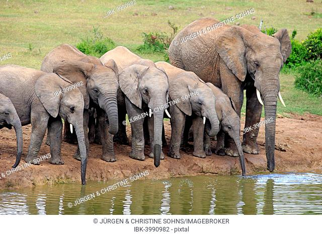 African Elephants (Loxodonta africana), herd with young at the waterhole, Addo Elephant National Park, Eastern Cape, South Africa