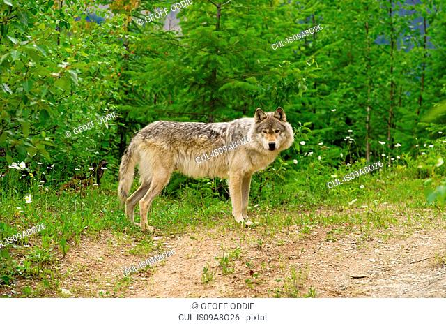 Gray Wolf, Golden, British Columbia, Canada