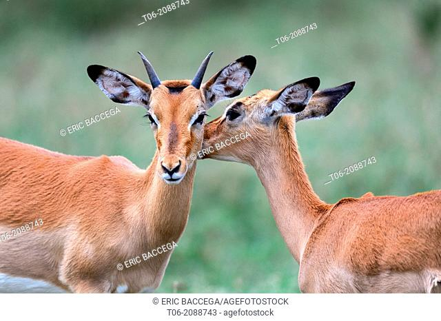 Impala (Aepyceros melampus), young male grooming a female, Nakuru National Park, Kenya, Africa, October