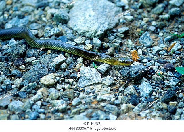 Aesculapian Snake, Elaphe longissima, Colubridae, snake, reptile, animal , Bodio, Canton of Ticino, Switzerland