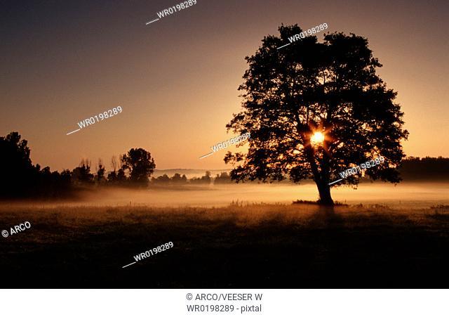 Tree, at, sunrise, in, morning, haze, Baden-Wurttemberg, Germany