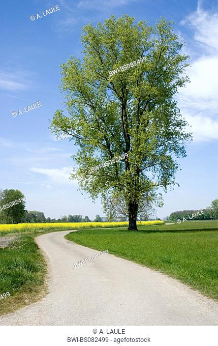 white poplar (Populus alba), at the road, Germany, Baden-Wuerttemberg