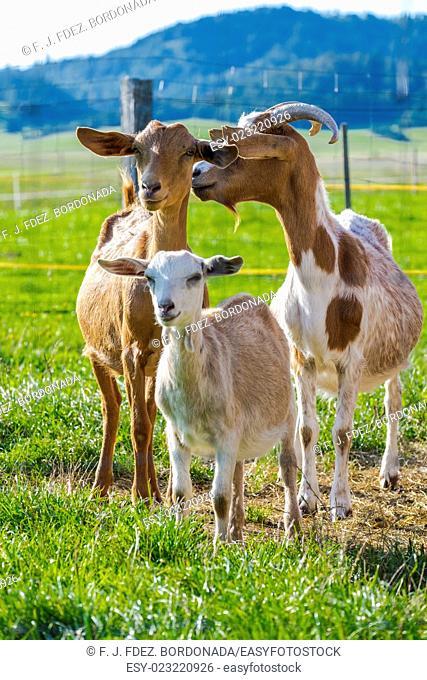 Goats flock at Babno Polje, Slovenia