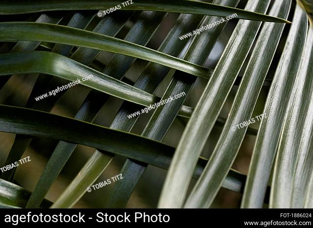 Green tropical palm leaves crisscrossing