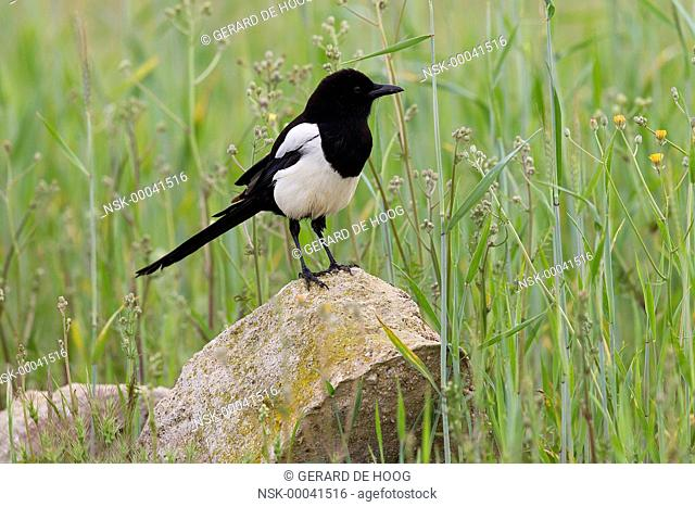 Eurasian Magpie (Pica pica) on a rock in a grain field, Spain, Extremadura, Calera y Chozas
