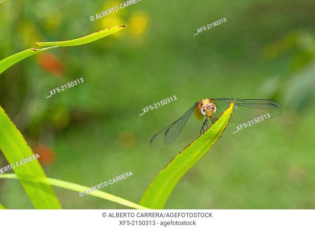Dragonfly, Tropical Rainforest, Costa Rica, Central America, America
