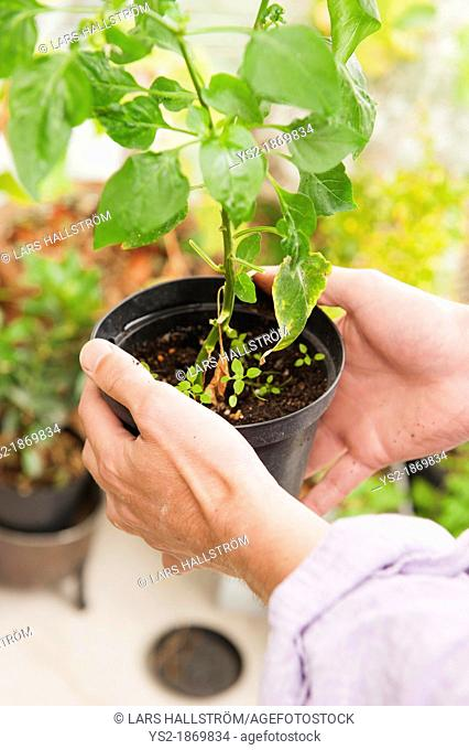 Man caring for a potted plant