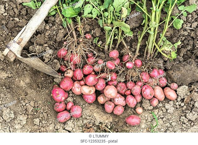 Fresh organic young red potatoes on the field