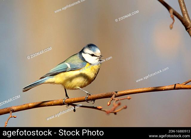 Blue tit (Parus caeruleus) on a twig