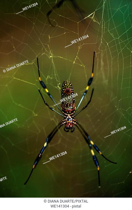 """""""""""Golden silk orb-weaver"""" (Nephila); This spider normally rests in the center of her enormous web made of brilliant gold-colored silk"