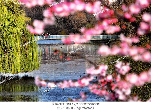 The lake in St  James's Park, in the heart of London, England, with Spring blossom in the foreground and the famous Blue Bridge in the background