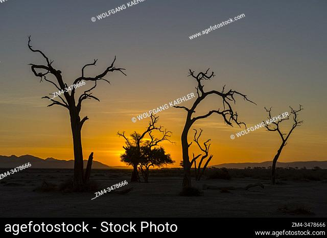 Dead trees at sunset silhouetted in the barren landscape of the private Kulala Wilderness Reserve in the Sossusvlei area, Namibia