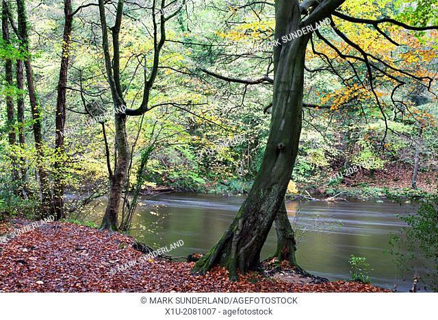 Autumn Trees in Nidd Gorge Woods near Knaresborough North Yorkshire England
