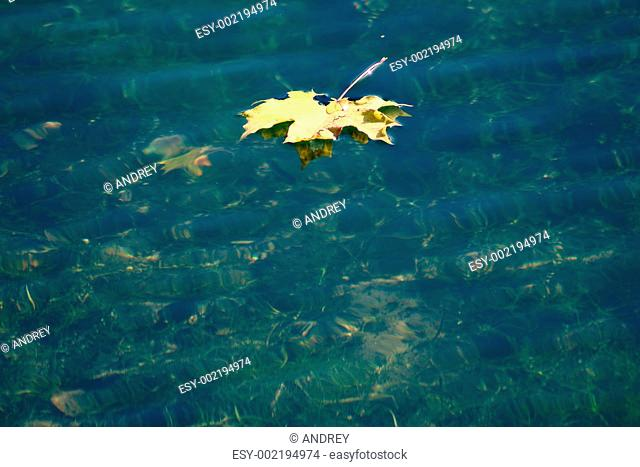 Autumn maple leaf floating in water