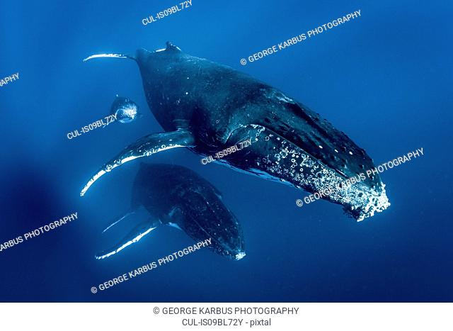 Humpback whales (Megaptera novaeangliae), swimming together, underwater view, Tonga, Western, Fiji