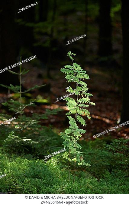 Rowan or mountain-ash (Sorbus aucuparia) in the bavarian forest